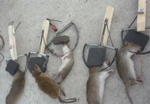 bẫy chuột vật lý