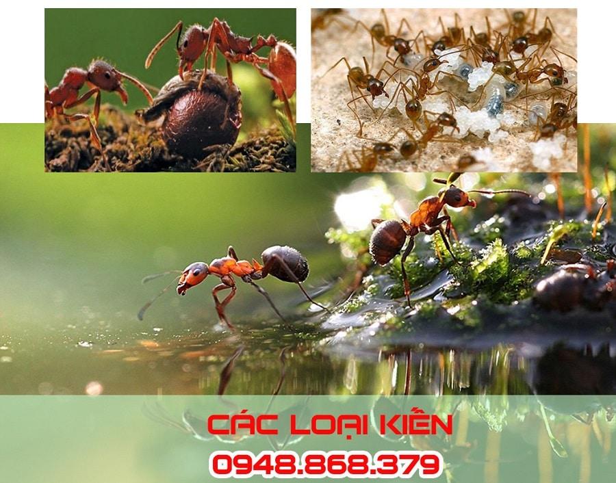 Các loại kiến trong tự nhiên