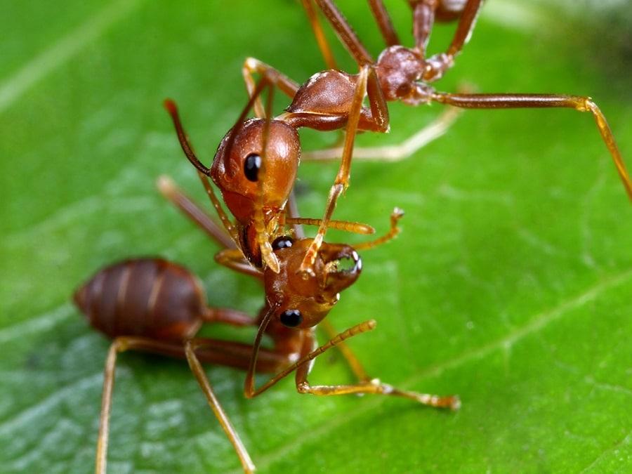 nhện kiến