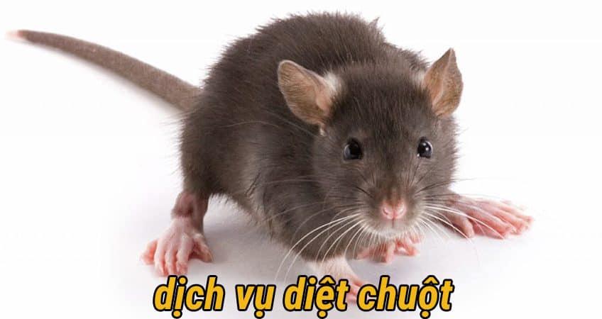 Dịch vụ diệt chuột tại TPHCM | Cam Kết Diệt Chuột - Hết Chuột 100%