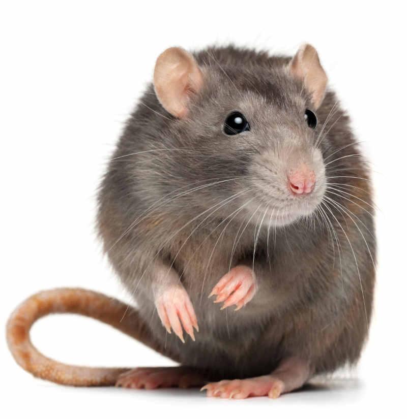 Đặc tính của loài chuột
