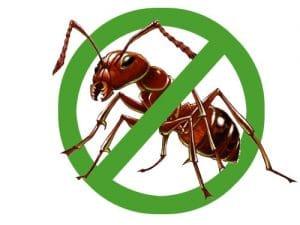 Độc tố của kiến ba khoang có thể gây hoại tử da